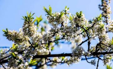 Vùng Tây bắc hoa mận nở trắng trời tháng 3
